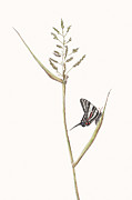 Elizabeth Romanini Drawings - Zebra Swallowtail Butterfly by Elizabeth Romanini