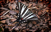 Karen Adams Metal Prints - Zebra Swallowtail Butterfly Metal Print by Karen Adams