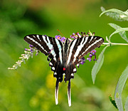Flutter Art - Zebra Swallowtail Butterfly by Lara Ellis