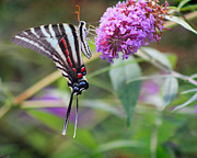 Karen Adams Metal Prints - Zebra Swallowtail Butterfly on Butterfly Bush  Metal Print by Karen Adams