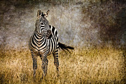 Rhinoceros Framed Prints - Zebra Tail Flick Framed Print by Mike Gaudaur
