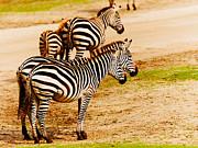 Nick  Biemans - Zebras close together