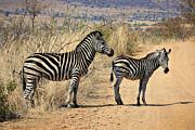 Kim Andelkovic - Zebras Crossing