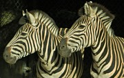 Wildlife Sculpture Prints - Zebras Print by Gunter E  Hortz