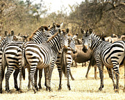 Zebras Photos - Zebras In The Wild  by Nian Chen