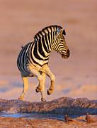 Zebras Jump From Waterhole Print by Johan Swanepoel