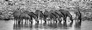 Juergen Klust Prints - Zebras on a Waterhole Print by Juergen Klust