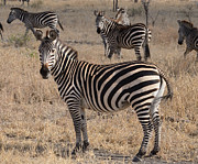 East Africa Prints - Zebras on Alert Masai Mara Print by Tom Wurl