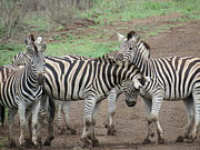 Jennifer Longsworth - Zebras on Patrol