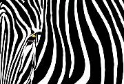 Black And White Animal Posters - Zebressence Poster by Dan Holm