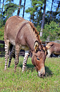 Susan Leggett - Zedonk or Zebroid