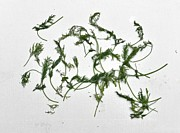 Ion vincent DAnu - Zen Composition or Drying the Dill