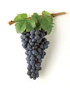 Zinfandel Cluster On White Print by Craig Lovell