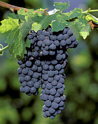 Grape Leaves Photos - Zinfandel Wine Grape Clusters by Craig Lovell