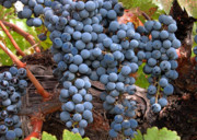 Zinfandel Wine Grapes Print by Charlette Miller