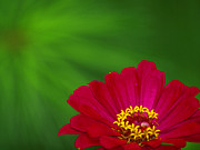 Monica Veraguth Art - Zinnia and a Green Star by Monica Veraguth