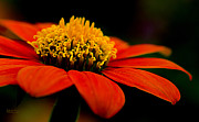 Zinnia Prints - Zinnia Bright Orange Macro Print by Julie Palencia