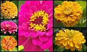 Eunice Miller Metal Prints - Zinnia Collage Metal Print by Eunice Miller