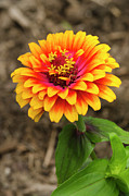 Gardens And Flowers - Zinnia by Crystal Wightman