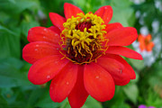 Cultivation Painting Prints - Zinnia Flower Print by Lanjee Chee