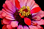 Carol F Austin - Zinnia Flower Macro on...