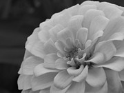 Pat Lopez - Zinnia in black and white