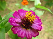 Joy Neasley - Zinnia in China