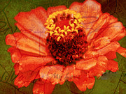 Carol F Austin - Zinnia in Full Bloom