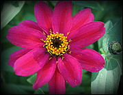 Pink Zinnias Framed Prints - Zinnia in Hot Pink Framed Print by Dora Sofia Caputo