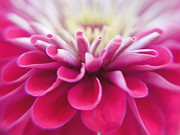 Dreamy Floral Fine Art Photos - Zinnia Light by Irina Wardas