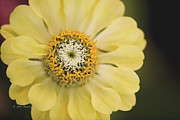 Tendrils Photos - Zinnia by Richard J Thompson