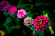 Donald Chen Metal Prints - Zinnia Singapore Flower Metal Print by Donald Chen