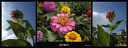Zinnias Digital Art - Zinnias 3 Panel Composite by Thomas Woolworth