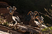 Zion National Park Mountain Sheep Checkerboard Mesa Utah Print by Robert Ford