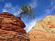 Southwest Landscape Metal Prints - Zion Pinon Tree Metal Print by Matt Suess