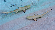 Live Art Prints - Zone Control. Babies of Black Tip Sharks Print by Jenny Rainbow