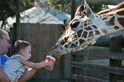 Gulf Breeze Posters - Zootography2 Happy to Feed the Giraffe Poster by Jeff at JSJ Photography
