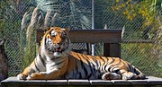 Gulf Breeze Posters - Zootography3 Tiger in the Sun Poster by Jeff at JSJ Photography