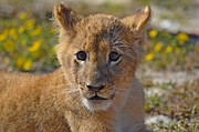 Gulf Breeze Posters - Zootography3 Zion the Lion Cub Poster by Jeff at JSJ Photography