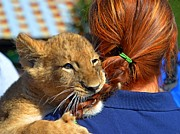 Gulf Breeze Posters - Zootography3 Zion the Lion Cub likes Redheads Poster by Jeff at JSJ Photography