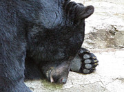 Conservation Art Poster Posters - Zzz...A Black Bear at Kaunas Zoo. Lithuania. Poster by Ausra Paulauskaite