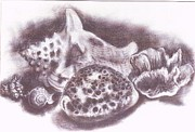 Florida Drawings -     Seashells  -  1 by Trudy Storace
