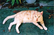 Photograph Prints -         Sherbert Cat Print by      Trudy Storace