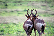 Springbok Framed Prints -  A Springbok Couple Framed Print by Alexandra Jordankova