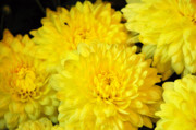 Soil Photo Posters -  A yellow chrysanthemum symbolizes slighted love Poster by Debra  Miller