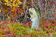 Squirrel Originals -  Artic Ground Squirrel by Alan Lenk