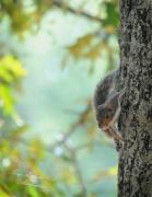 Terry Kirkland Cook -  Baby Squirrel
