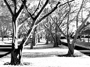 Tom Bush IV -  Banyan Trees