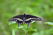 Weed Posters Art -  Black Swallowtail Male by Kathy Gibbons