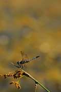 Dick Todd -  Blue Dasher Dragonfly